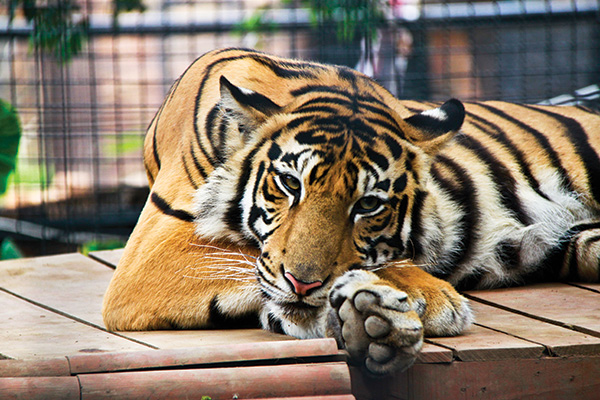 The Lazy Tiger